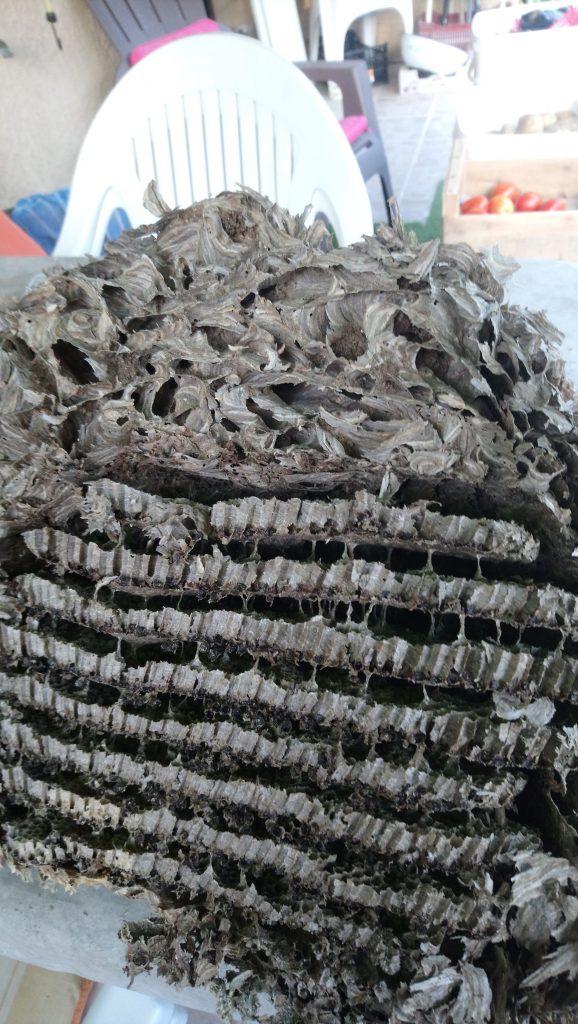 Vieux nid de frelons asiatiques