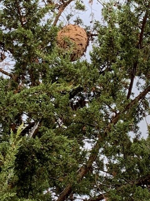 Nid de frelons asiatiques dans un sapin, arbre, Essonne 91