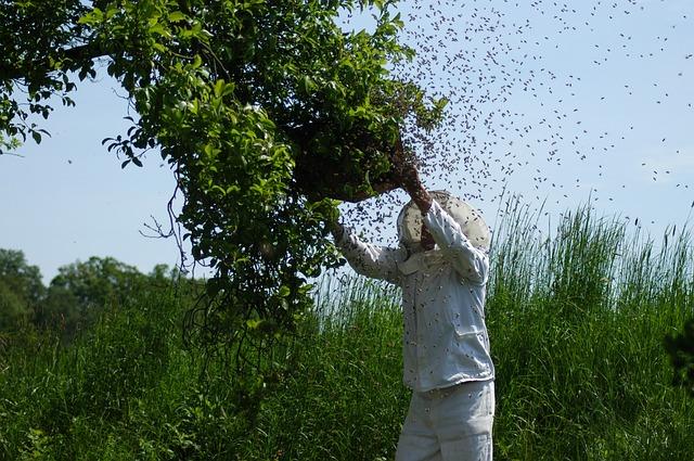 Apiculteur qui récupère un essaim d'abeilles