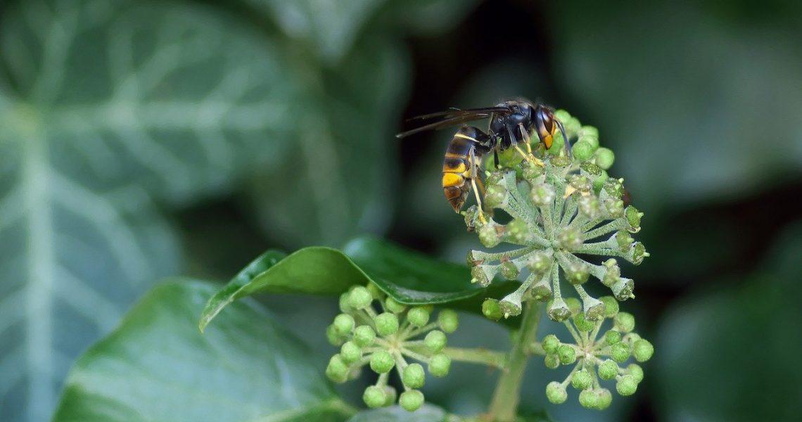 frelon asiatique sur fleurs de lierre.