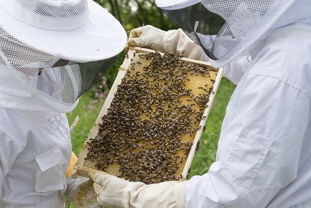 Apiculteurs qui observent les abeilles sur un rayon